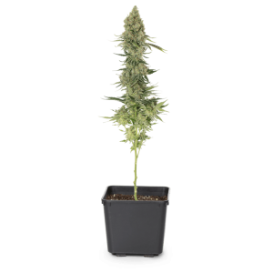 271240_Gorilla_Berry_Full_Plant