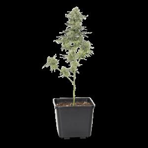 271247_Mango_Kush_Full_Plant