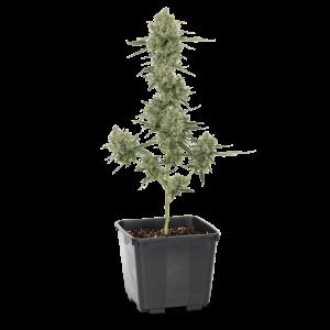 276807_Chemdawg_Ultra_Full_Plant